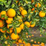bright orange naval oranges on tree